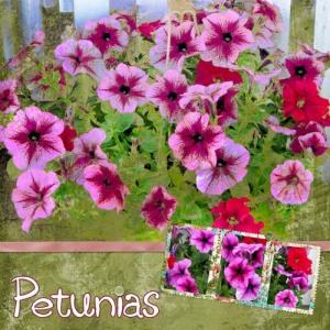 Petunias by Carol
